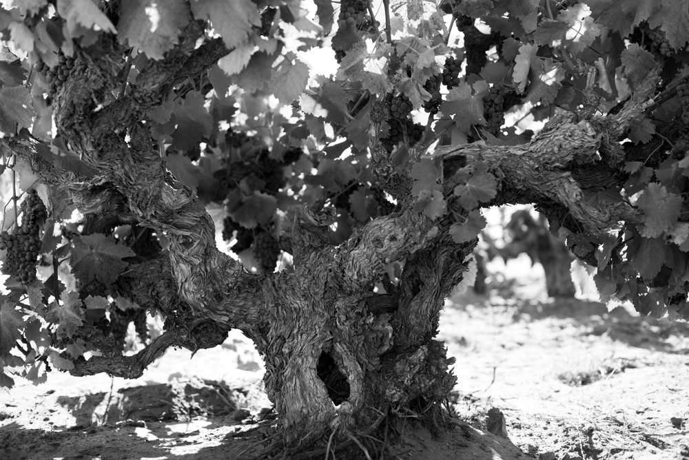 An ancient vine